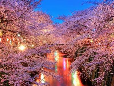 Ngắm Hoa anh đào nở rộ ở Hàn Quốc